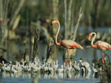 Pair of Flamingos and a Flock of Chicks in a Rookery Photographic Print by Steve Winter