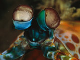 Close View of the Eyes of a Smashing Peacock Mantis Shrimp Photographic Print by Tim Laman