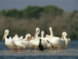 American White Pelicans and a Cormorant Standing on the Shoreline Fotografisk tryk af Klaus Nigge