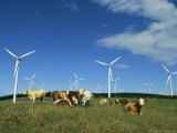 Cattle in a Field with Rows of Windmills Photographic Print by Steve Winter