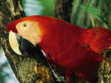 Close View of a Macaw Perched in a Tree Photographic Print by Steve Winter