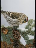Redpoll Finch Perched on a Snow-Dappled Fir Branch with Cones Photographic Print by Michael S. Quinton