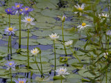 Water Lilies in Bloom Photographic Print by Randy Olson