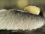 Brown Pelican with Its Head Tucked Behind Its Wing Fotografisk tryk af Klaus Nigge