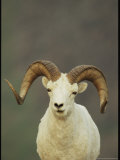 Portrait of a Dall's Sheep Photographic Print by Michael S. Quinton