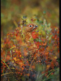 Camouflaged Willow Ptarmigan Among Autumn Colored Foliage Photographic Print by Michael S. Quinton