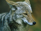Portrait of a Coyote with Its Ears Laid Back Photographic Print by Phil Schermeister