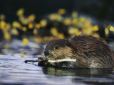 Beaver Eating the Bark Off of a Small Twig Photographic Print by Michael S. Quinton