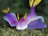 Pair of Bullock's Chromodoris Nudibranchs Fotografisk tryk af Tim Laman