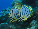Pair of Meyer's Butterflyfish Swimming Along a Reef Wall Photographic Print by Tim Laman