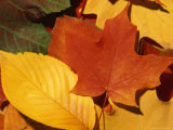 Colourfull Fall Leaves Lie in a Pile Photographic Print by Taylor S. Kennedy