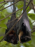Pair of Fruit Bats Roosting in a Tree Photographic Print by Randy Olson