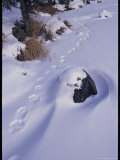 Lynx Tracks in Alaskan Snow Photographic Print by Michael S. Quinton