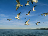 Group of Gulls Flying over Water Photographic Print by Steve Winter