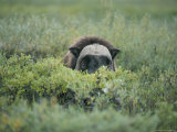 Musk Oxen Peers over a Bush Along Dalton Highway Photographic Print by Rich Reid