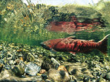 Chinook Or King Salmon in a Clear Alaska Stream Photographic Print by Michael S. Quinton