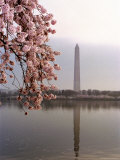 Cherry Blossoms Frame the Washington Monument Photographic Print by Rex Stucky