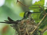 Cuban Emerald Hummingbird Sitting on It's Nest Photographic Print by Steve Winter