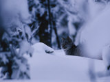 Lynx in a Snowy Alaskan Forest Landscape Photographic Print by Michael S. Quinton