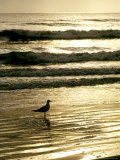 Gull Stands in the Atlantic Ocean's Surf at Sunset