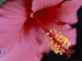 Close View of a Hibiscus Flower Photographic Print by Taylor S. Kennedy