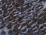 Flock of Western Sandpipers Resting on the Shore of the Copper River Photographic Print by Michael S. Quinton