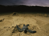 Baby Leatherback Turtle Scurrying For Waters' Safety After Hatching Photographic Print by Steve Winter