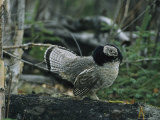 Ruffed Grouse Walking Along a Fallen Tree Trunk Fotografiskt tryck av Michael S. Quinton