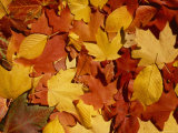 Colourful Fall Leaves Lie in a Pile Photographic Print by Taylor S. Kennedy