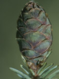 Close-up of a New Black Spruce Cone Photographic Print by George Herben