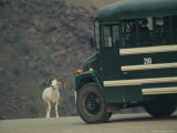 Dall's Sheep Slowing the Progress of a Bus on an Alaskan Road Photographic Print by Michael S. Quinton