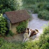 Collie Relaxes Next To Its Doghouse Photographic Print by Rex Stucky