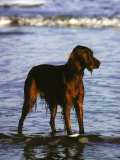 Irish Setter Stand in the Surf of the Atlantic Ocean