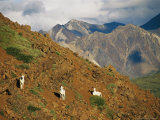 Trio of Dall's Sheep on a Rocky Mountainside Photographic Print by Michael S. Quinton