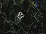 Boreal Owl Perched in an Evergreen Tree Photographic Print by Michael S. Quinton