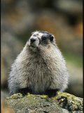 Portrait of a Hoary Marmot Sitting on a Lichen Encrusted Rock Photographic Print by Michael S. Quinton