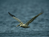 Brown Pelican in Flight over Water Photographic Print by Klaus Nigge