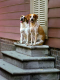 Pair of Mixed Breed Dogs Perch on a Stoop