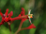 Kangaroo Paw Flower, Australian National Botanical Gardens Photographie par Simon Foale