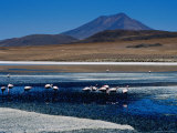 Flamingos in Laguna Canapa with Volcan Ollague in Background Photographic Print by Craig Pershouse