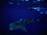 Whale Shark and Diver Photographic Print by Robert Halstead
