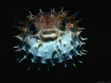 Inflated Puffer Fish Photographic Print by Robert Halstead