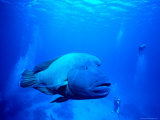 Maori Wrasse at Cod Hole, Great Barrier Reef Photographic Print by Robert Halstead