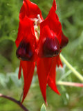 Sturt&#39;s Desert Pea, Australian National Botanical Gardens Photographie par Simon Foale
