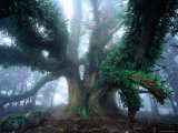 Giant Myrtle Photographic Print by Rob Blakers
