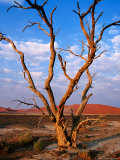 Dead Thorn Tree with Giant Sand Dunes in Distance, Near Sossusvlei Photographic Print by Karl Lehmann