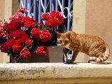 Ginger Cat on Wall Near Flowers Photographic Print by Russell Mountford