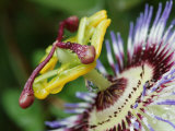 Close-Up of Passionfruit Flower Photographie par Simon Foale