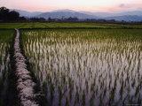 Rice Paddies Photographic Print by Stu Smucker
