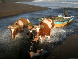Oxen Hauling a Fishing Boat Up Rio Buchupureo Photographic Print by Paul Kennedy